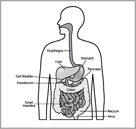 Digestive System Natura