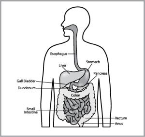 digestivesystem1